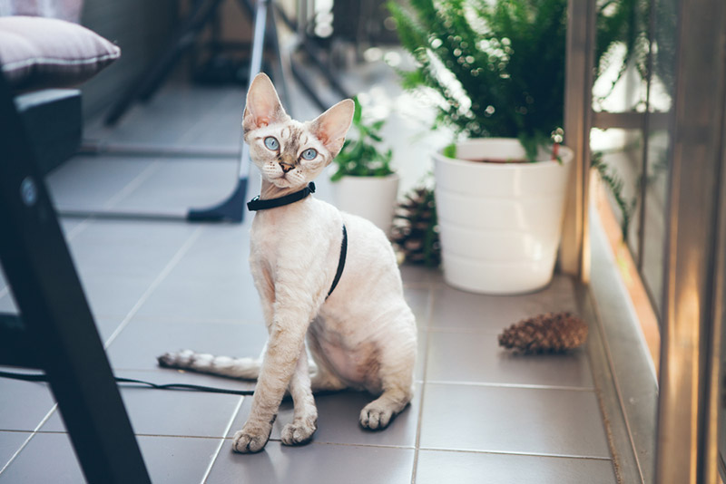 แมวเดวอน เร็กซ์