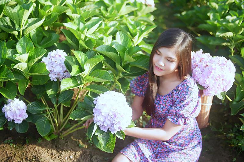 สวนดอกไฮเดรนเยีย เขาค้อ