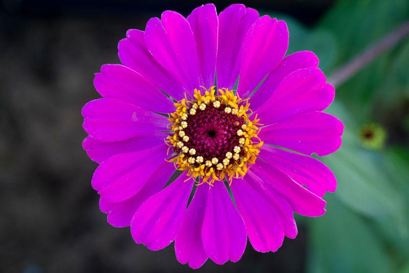 ดอกไม้สีม่วง