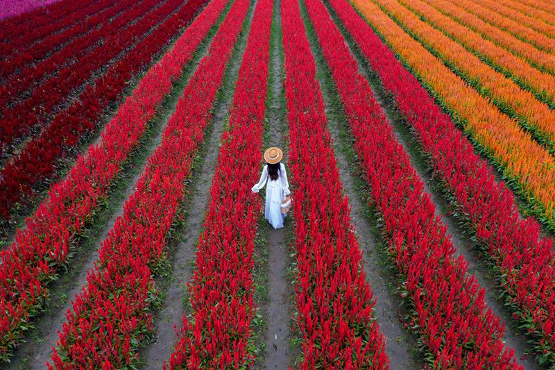 ทุ่งดอกไม้สีแดง เชียงใหม่