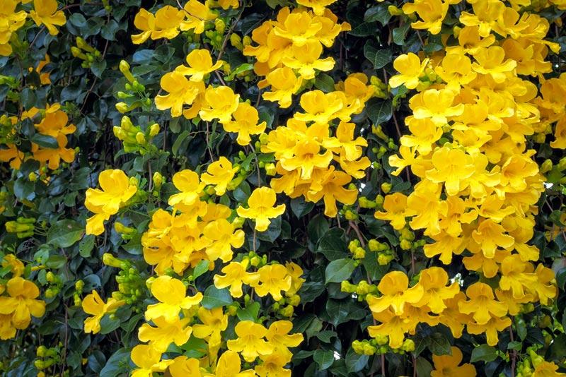 ไม้เลื้อยดอกสีเหลือง