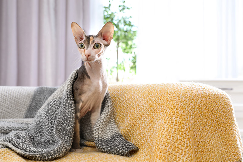 แมวสฟิงซ์